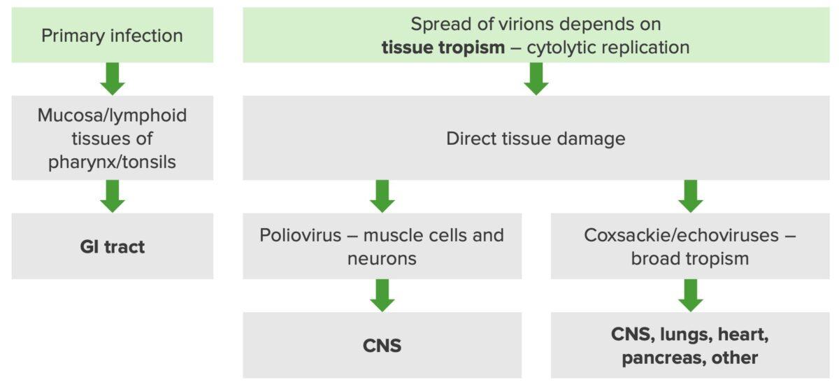 Pathogenesis of enteroviruses