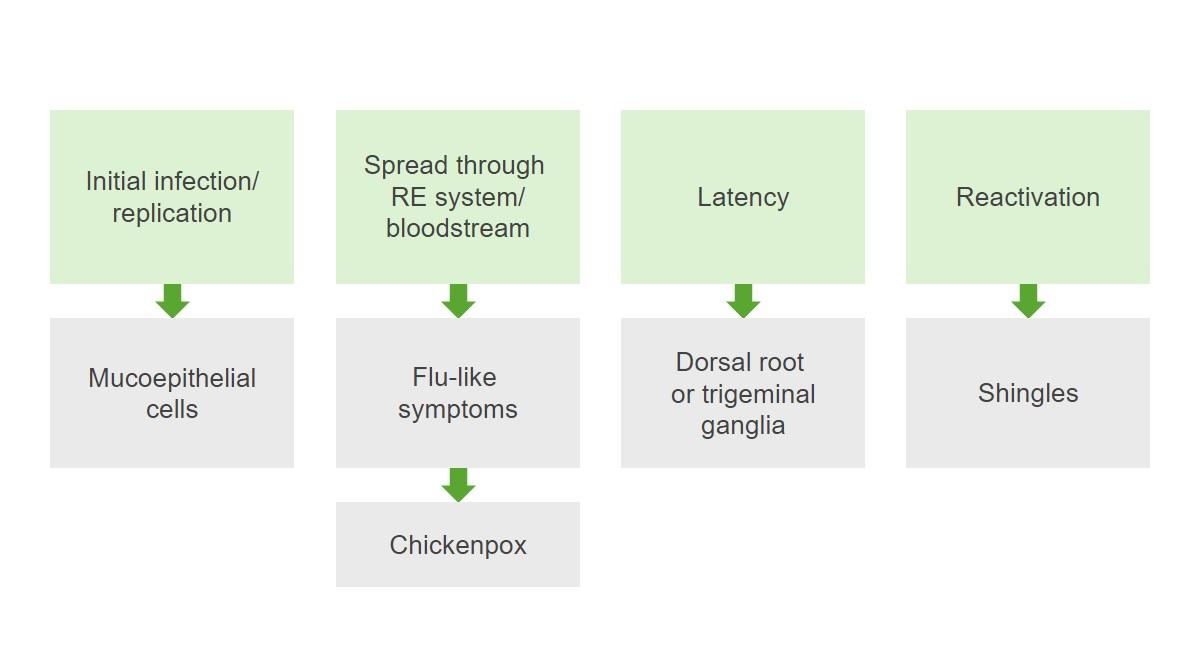 Pathogenesis of varicella-zoster virus Herpes zoster