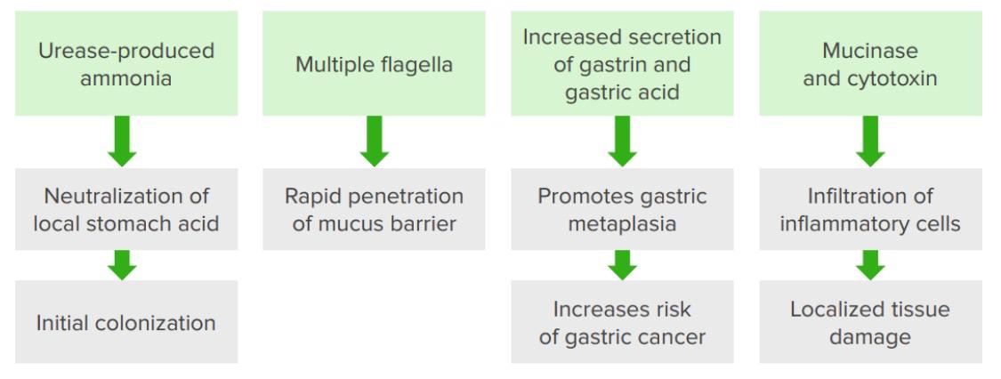 Pathogenic features of helicobacter pylori