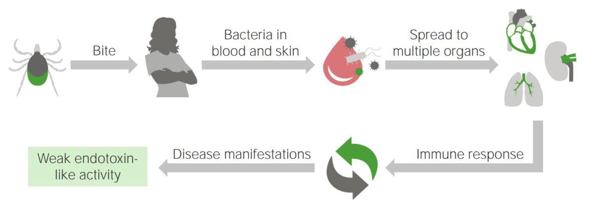 Pathophysiology of lyme disease