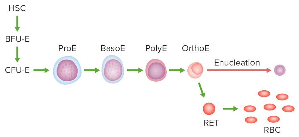 Pathway of erythropoiesis