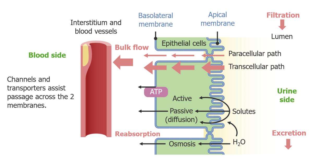 Pathways of epithelial transport of solutes from the tubular lumen