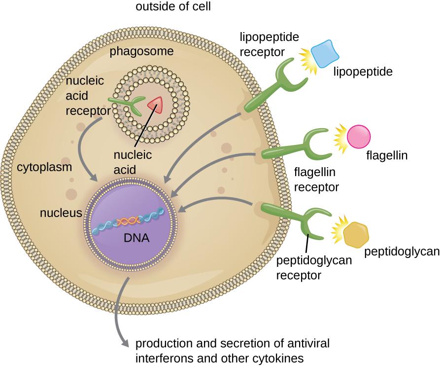 Pattern recognition receptors