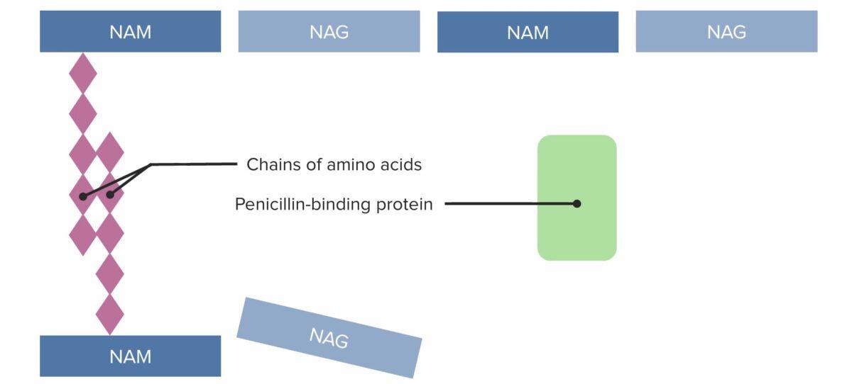 Penicillin-binding protein (PBP) forms cross-linked bridges between adjacent peptidoglycan chains (1)