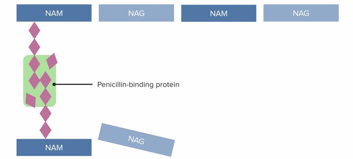(2) Penicillin-binding protein (PBP) forming cross-linked bridges between adjacent peptidoglycan chains
