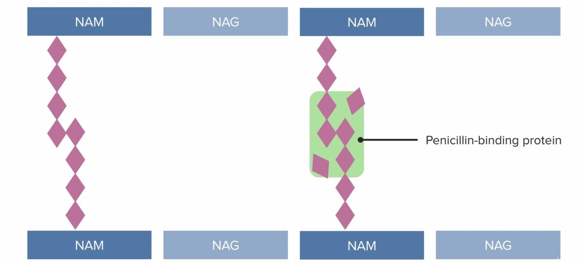 (3) Penicillin-binding protein (PBP) forming cross-linked bridges between adjacent peptidoglycan chains