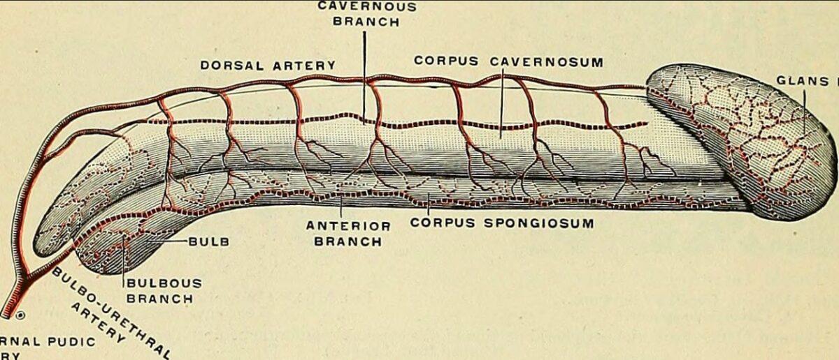 Penile vascular anatomy