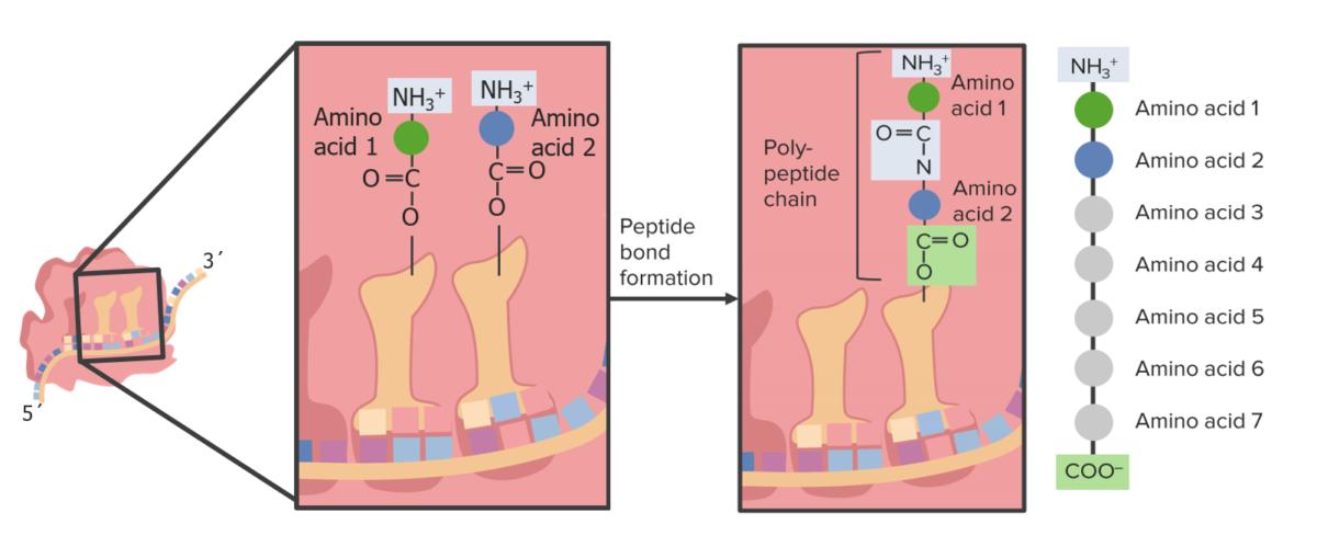 Peptide bond within ribosomes