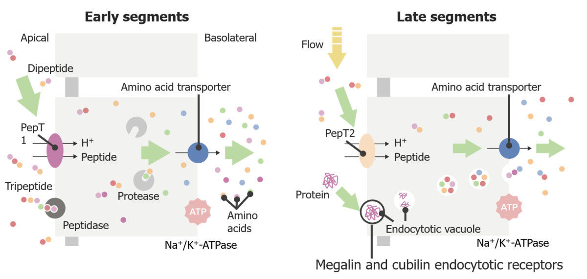 Peptide transport in the proximal tubule