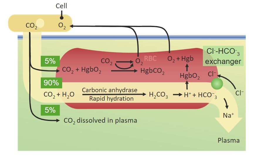 Percentages of CO₂ Gas exchange Respiratory regulation
