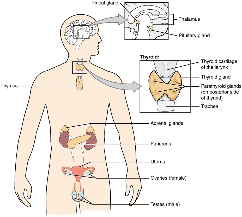 Pituitary gland and target organs