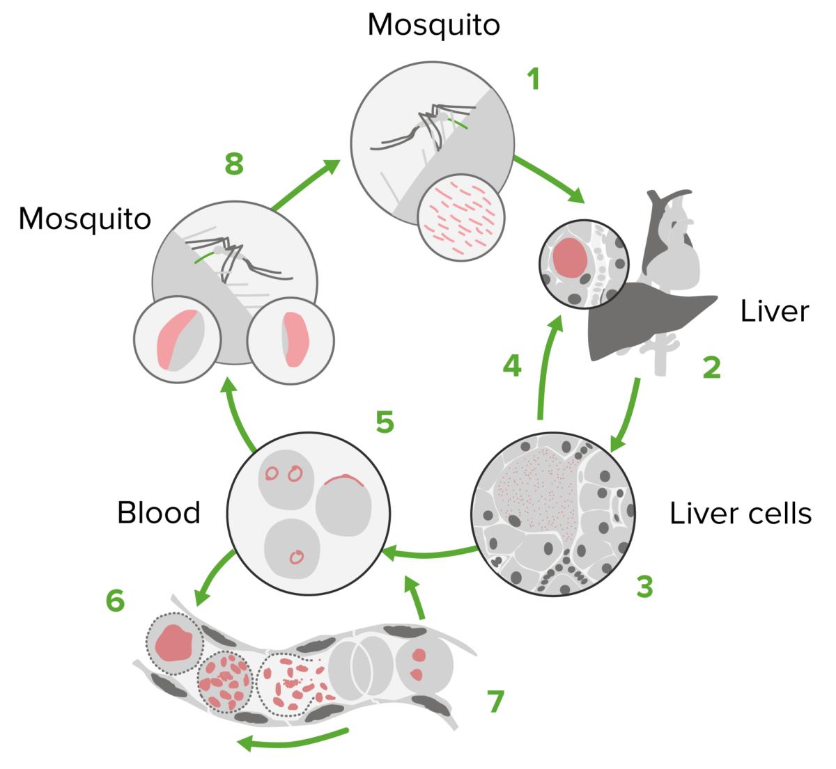 Plasmodium Life Cycle Antimalarial Drugs