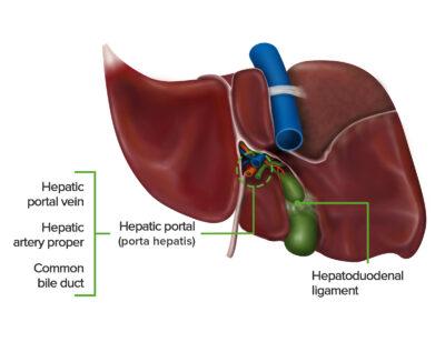 Porta hepatis hepatic portal