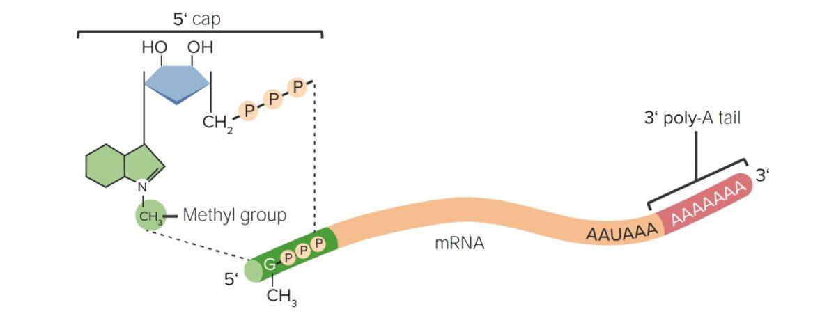 Post-transcriptional modifications of RNA