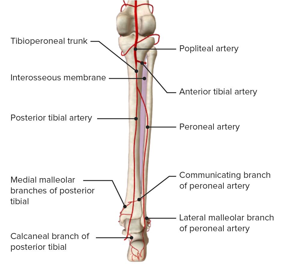 Posterior leg - arterial blood supply