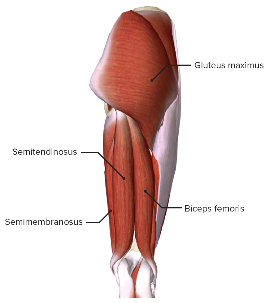 Posterior thigh, featuring the extensors of the hip