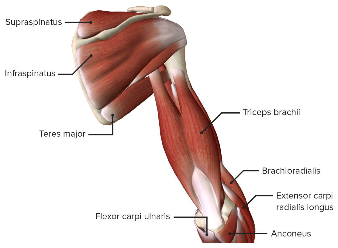 Posterior view of the arm