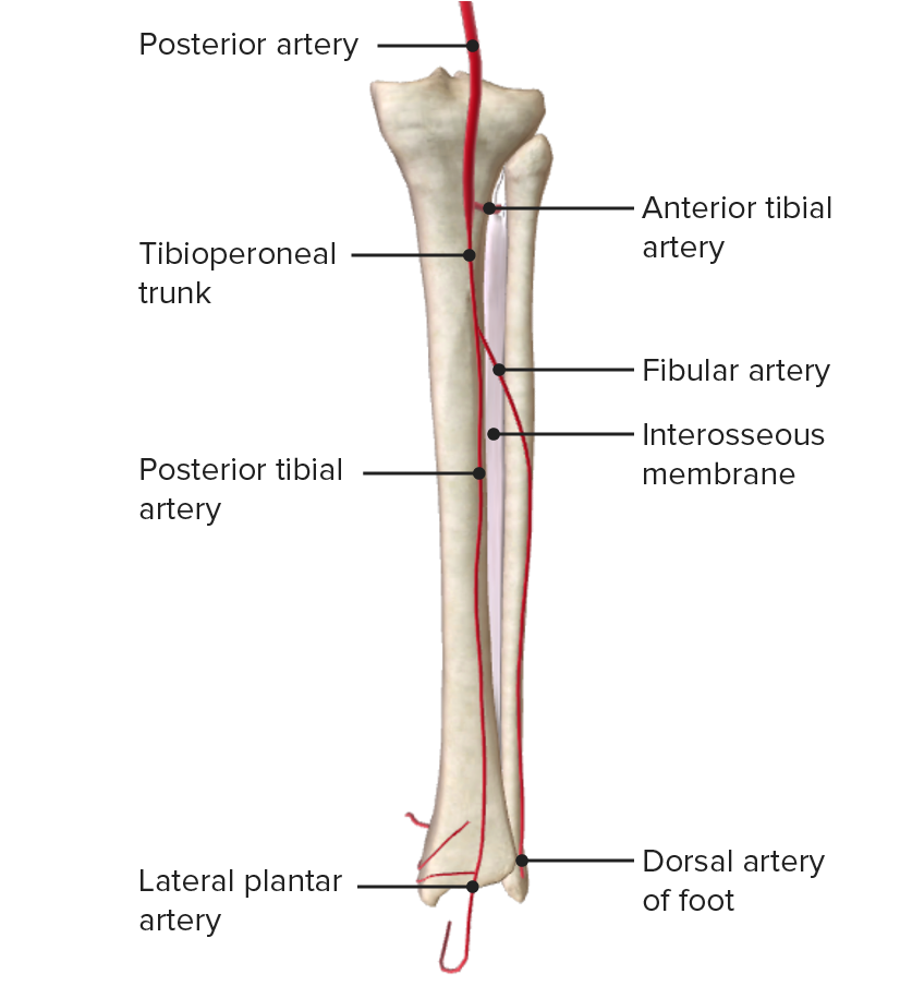 Posterior view of the arterial supply of the leg