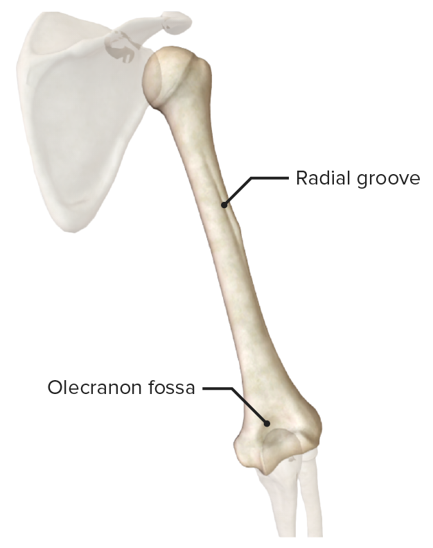Posterior view of the humerus
