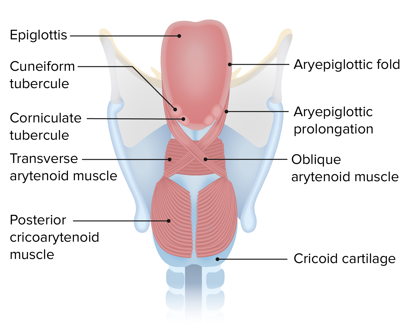 Posterior view of the intrinsic laryngeal muscles