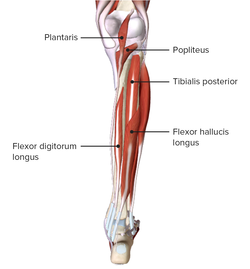 Posterior view of the leg featuring the muscles of the deep layer of the posterior compartment