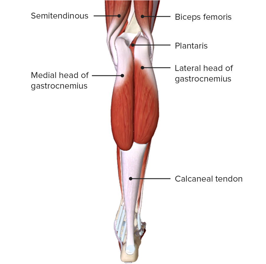 Posterior view of the leg featuring the gastrocnemii muscles
