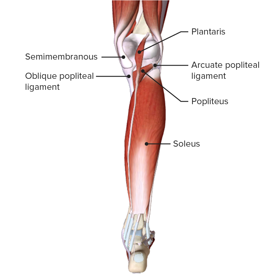 Posterior view of the leg featuring the plantaris and soleus muscles