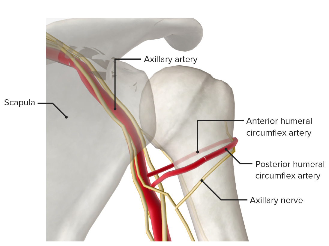Posterior view of the proximal end of the humerus