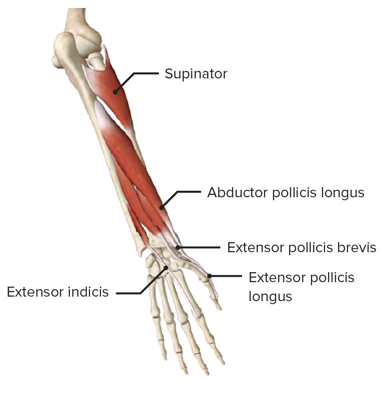 Posterior view of the right forearm, featuring the muscles of the deep layer of the posterior compartment