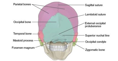 Posterior view of the skull