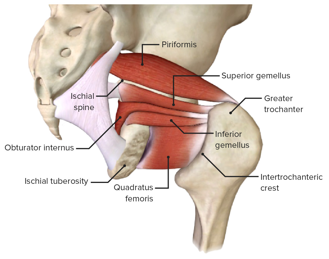 Posterolateral view of external rotators of the hip