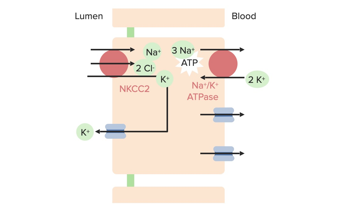 Potassium movement at the loop of Henle