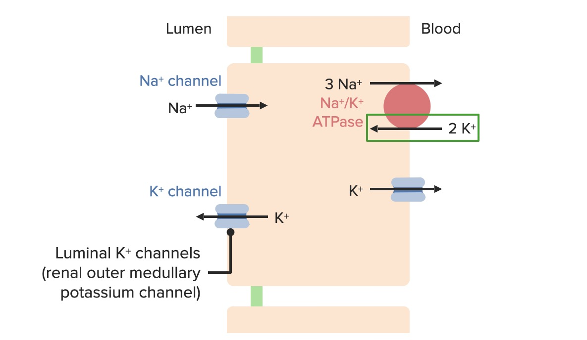 Potassium movement in the principal cell