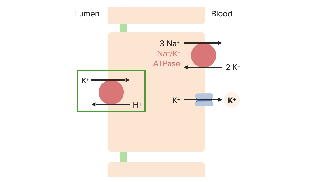 Potassium regulation at the α-intercalated cell