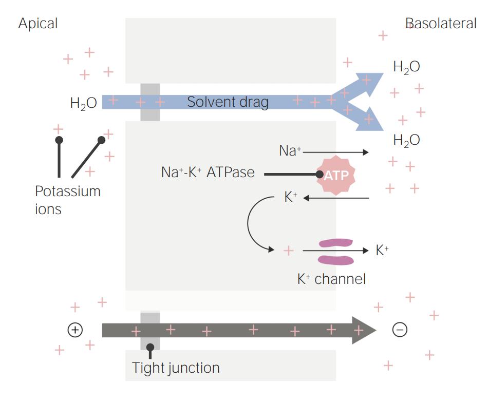 Potassium transport in the proximal tubule