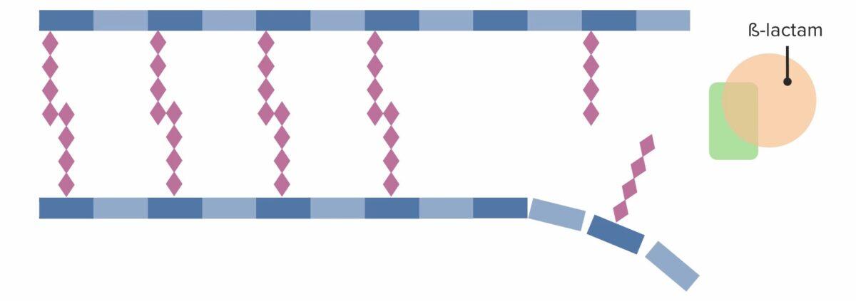 Presence of a beta-lactam antibiotic, irreversibly binding and inhibiting PBP