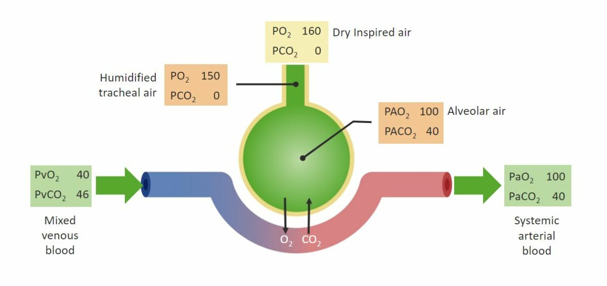 Pressures of O₂ and CO₂ Respiratory gas exchange