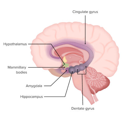 Primary components of the limbic system