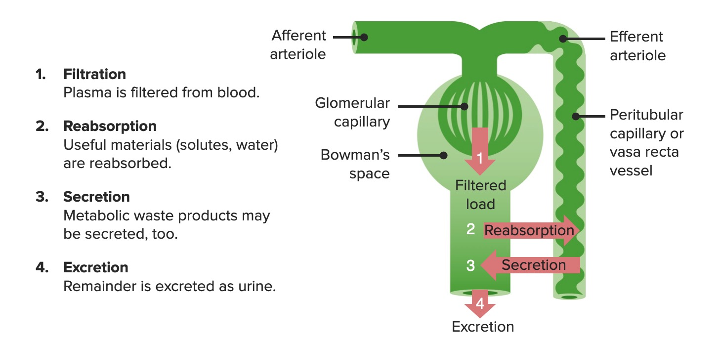Primary renal functions