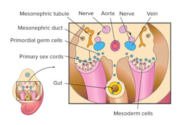 Primordial germ cells become associated with primary sex cords