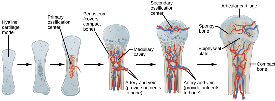 Process of endochondral ossification