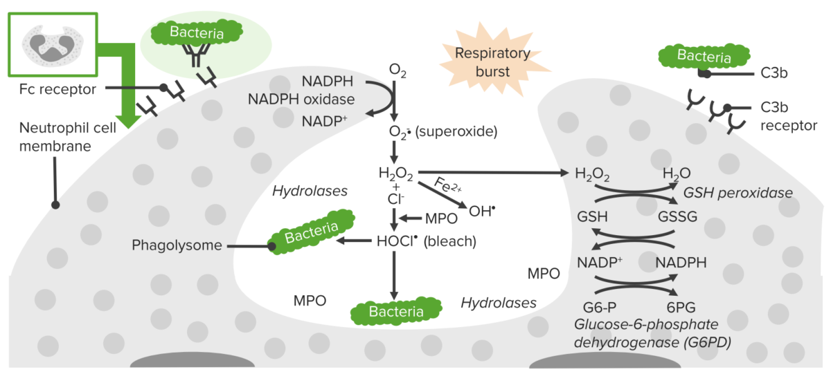Process of phagocytosis in neutrophils