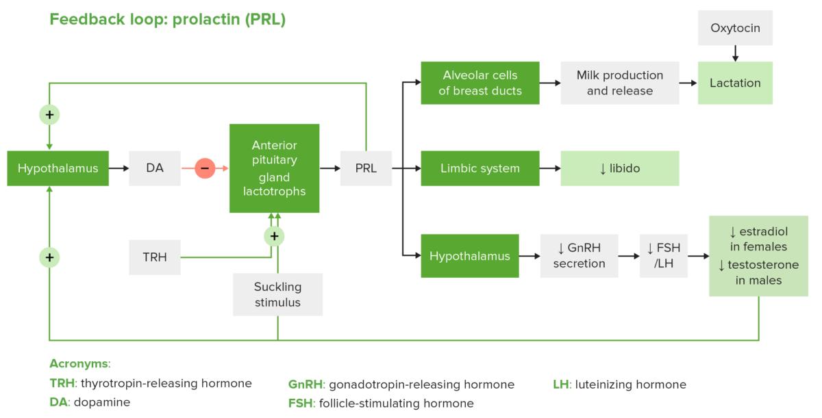 Prolactin diagram