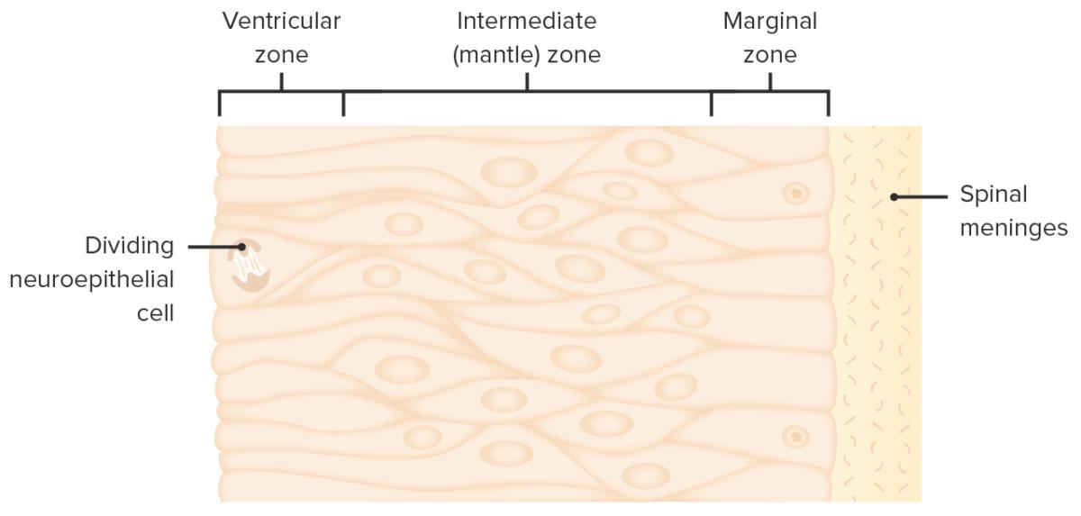Proliferation of neuroepithelial cells