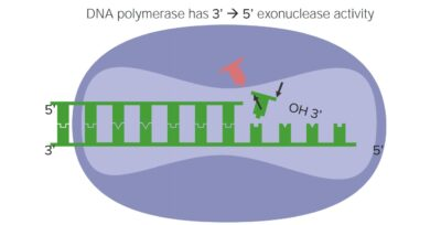 Proofreading activity of DNA polymerase
