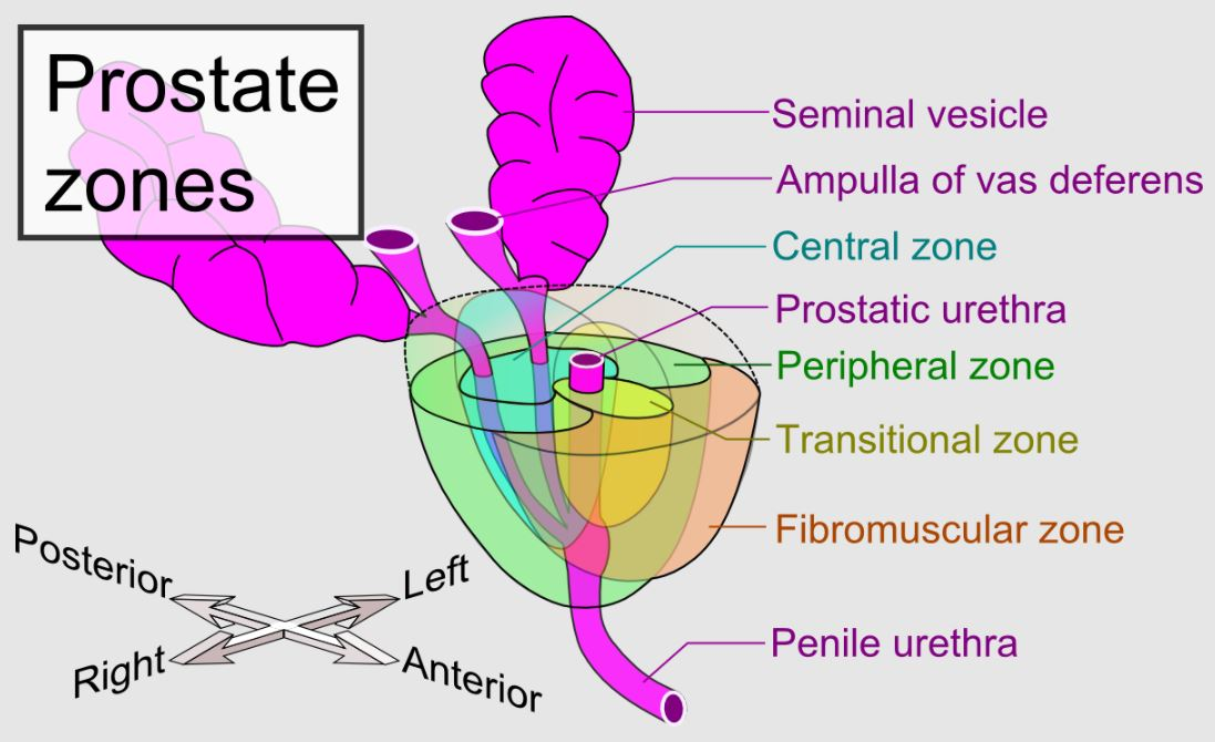 Prostate gland and main prostate zones