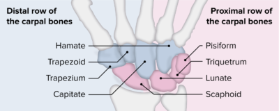 Proximal and distal rows of the carpal bones