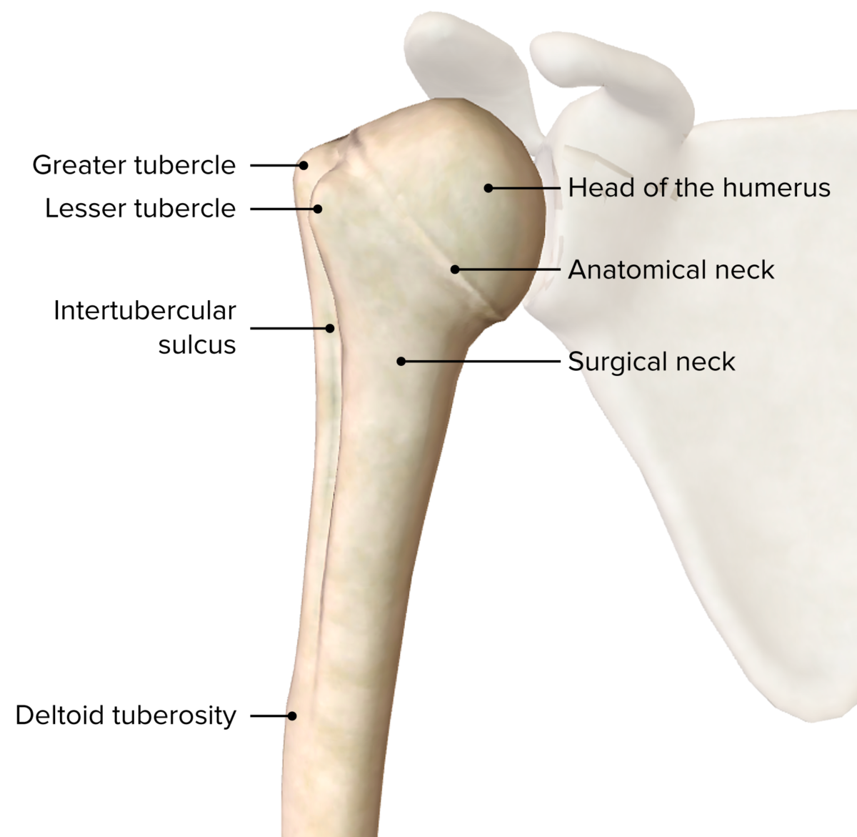 Proximal end of the humerus