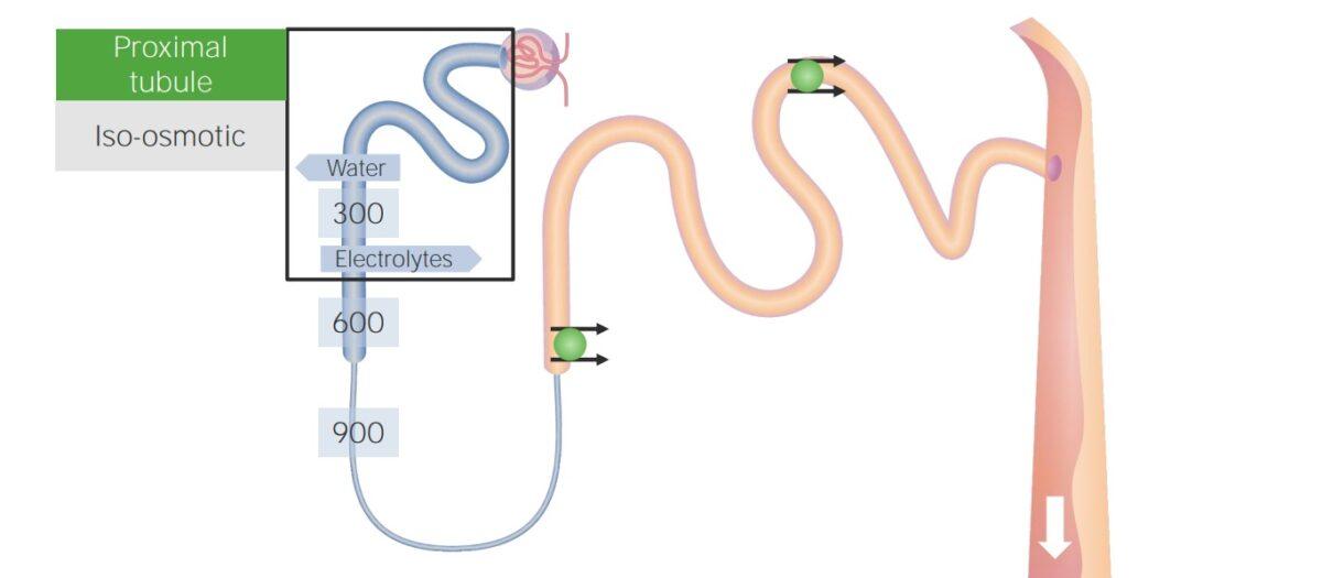 Proximal tube reabsorption