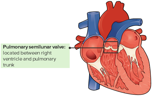 Pulmonary valve and its location in the heart.